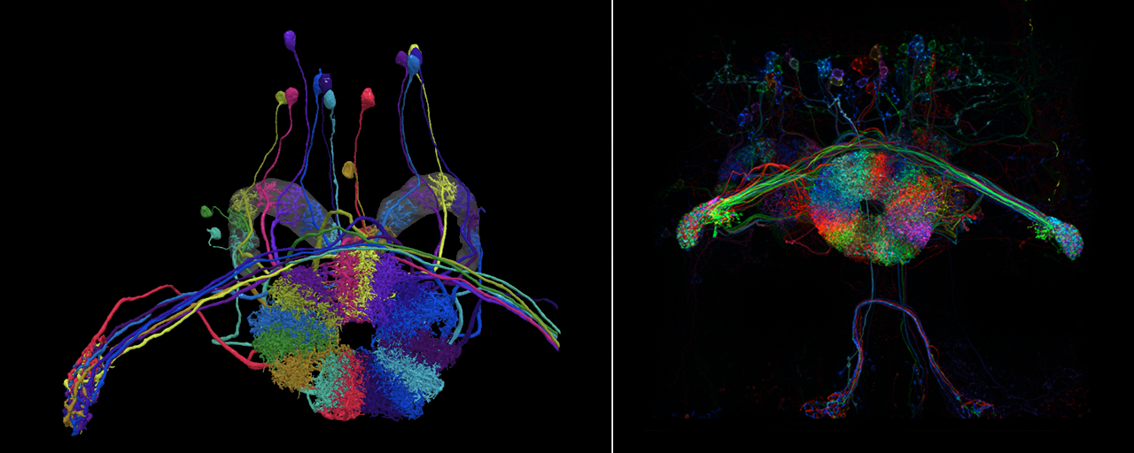 Two views of compass neurons in the Drosophila ellipsoid body