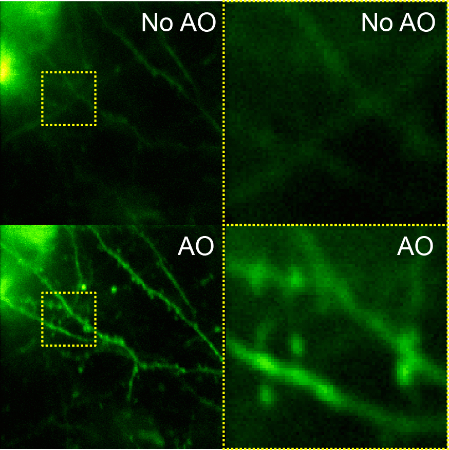 Layer 5 dendritic spines imaged without and with adaptive optical correction