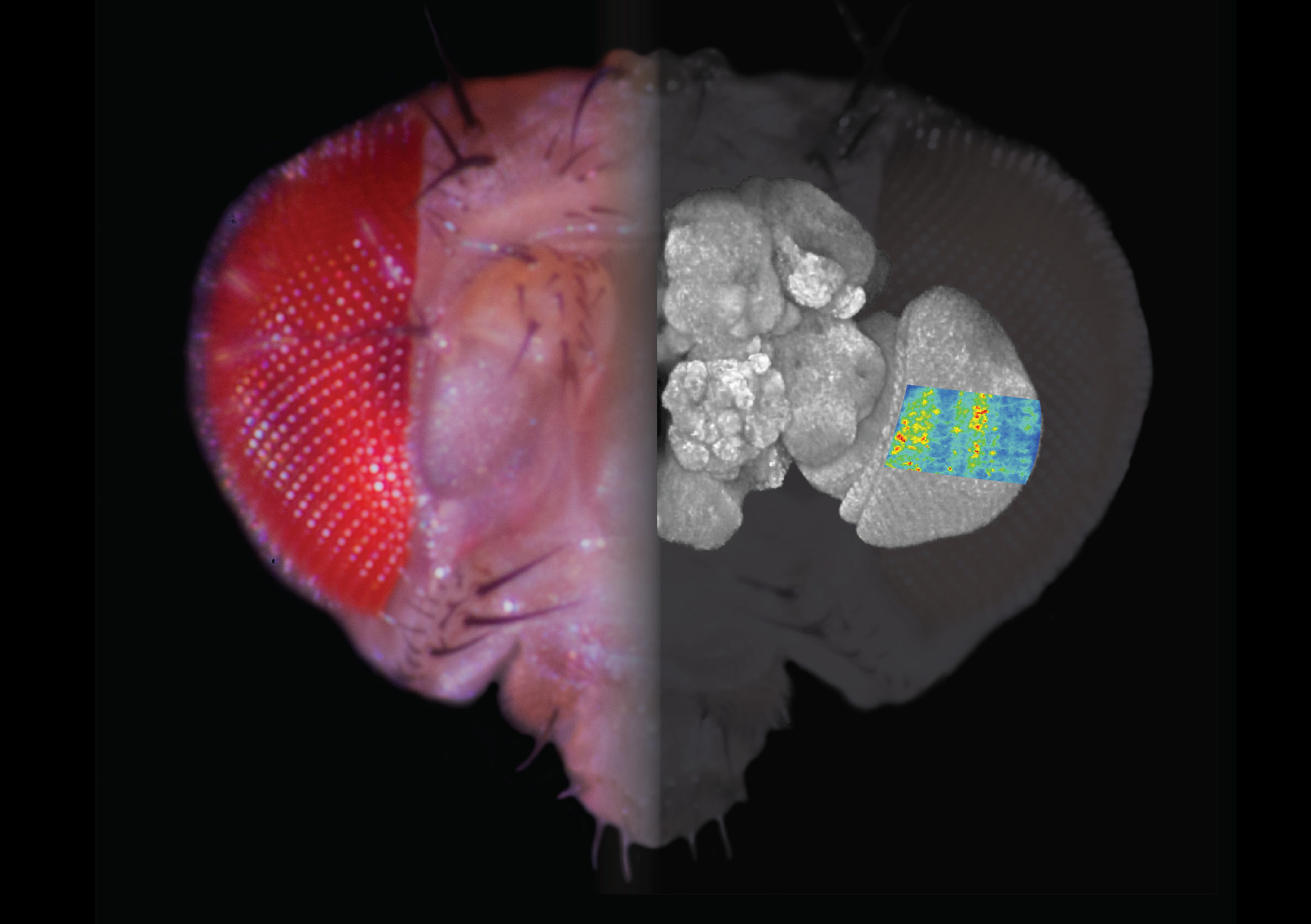 This composite image shows a fly's head, a projection of its brain, and a two-photon calcium image of stimulus-provoked responses in the visual system.