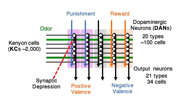 Circuit diagram of the mushroom body