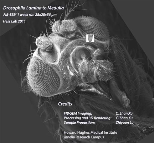 Inside the Drosophila Brain, Lamina to Medulla