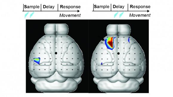 photoinhibition barrel cortex and alm