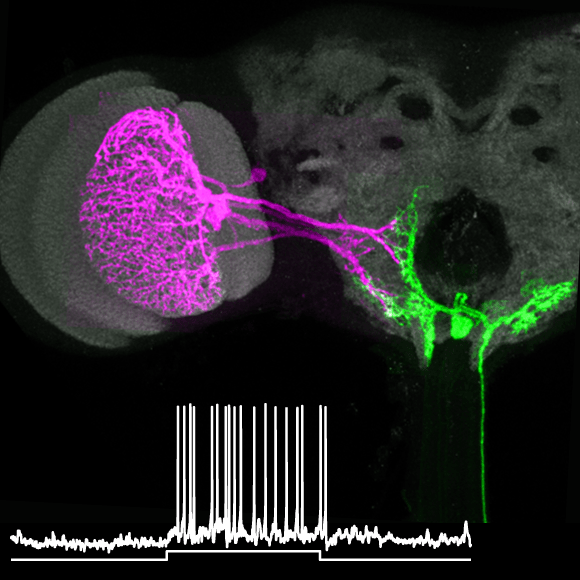 Double labelling of visual and motor neurons