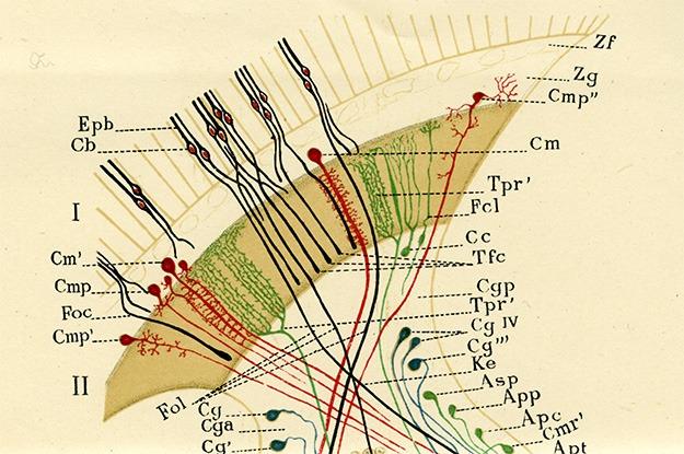 Santiago Ramón y Cajal Drawing